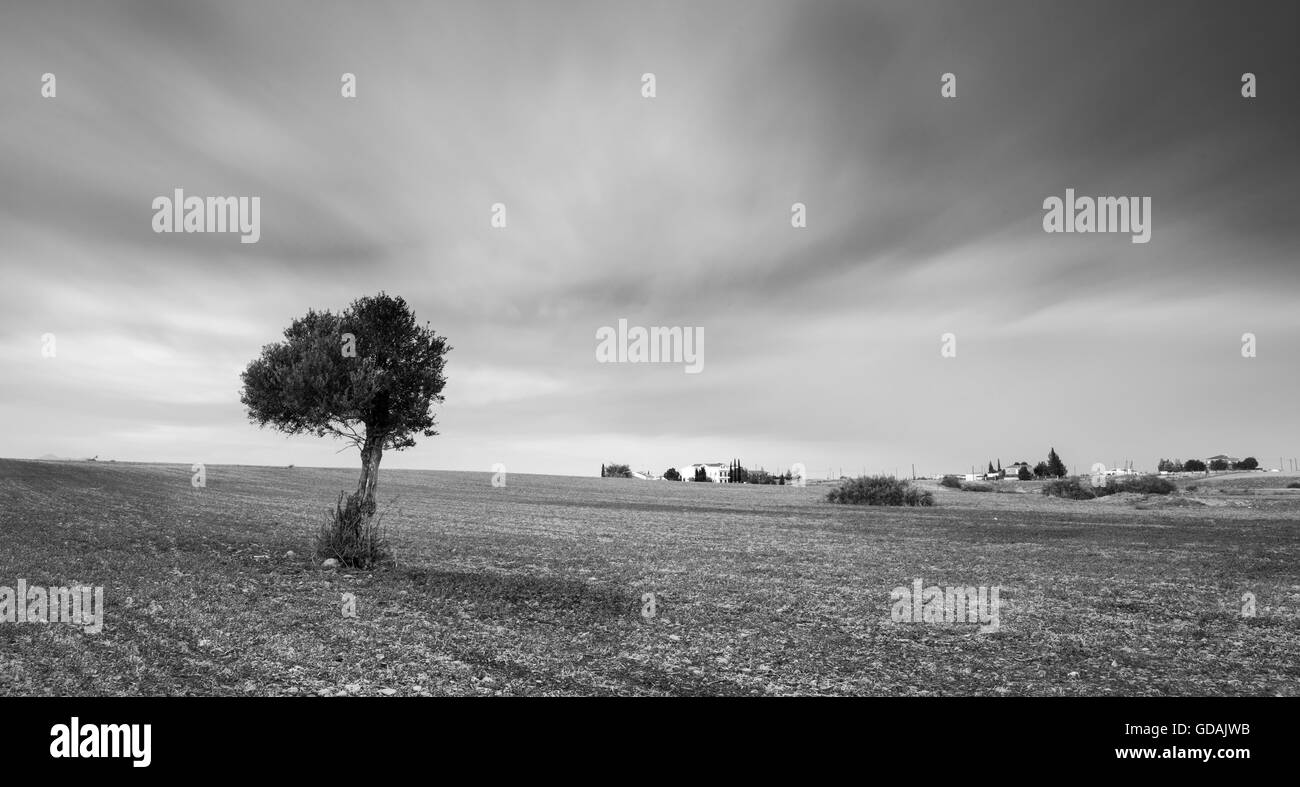 Black and white image of a lonely olive tree on a wheat field with moving clouds. Long Exposure photo. - Stock Image