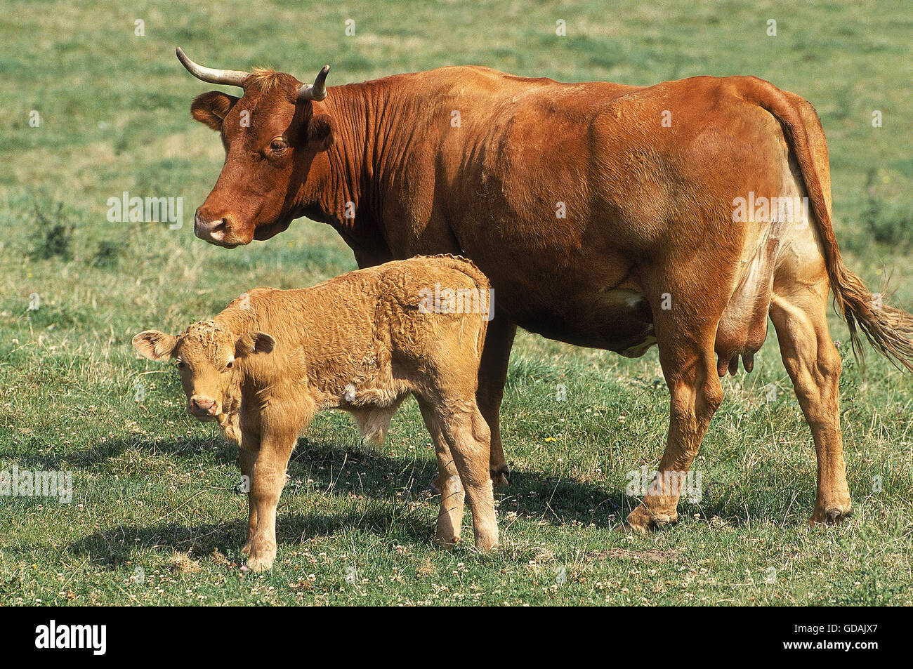 Mature date of limousin cattle