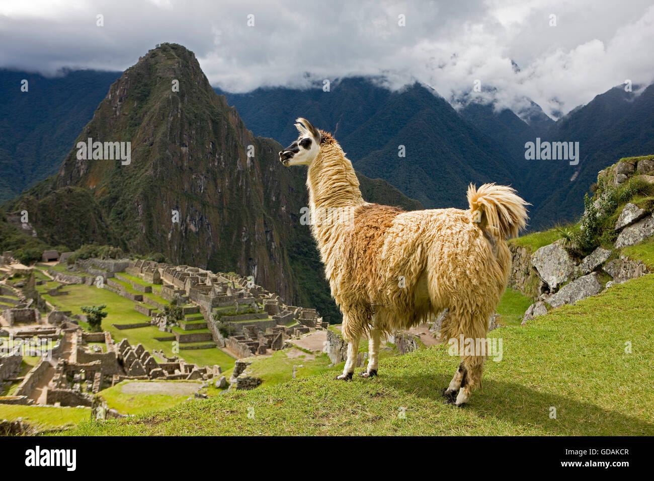 LLAMA lama glama AT MACHU PICCHU, THE LOST CITY OF INCAS, PERU Stock Photo