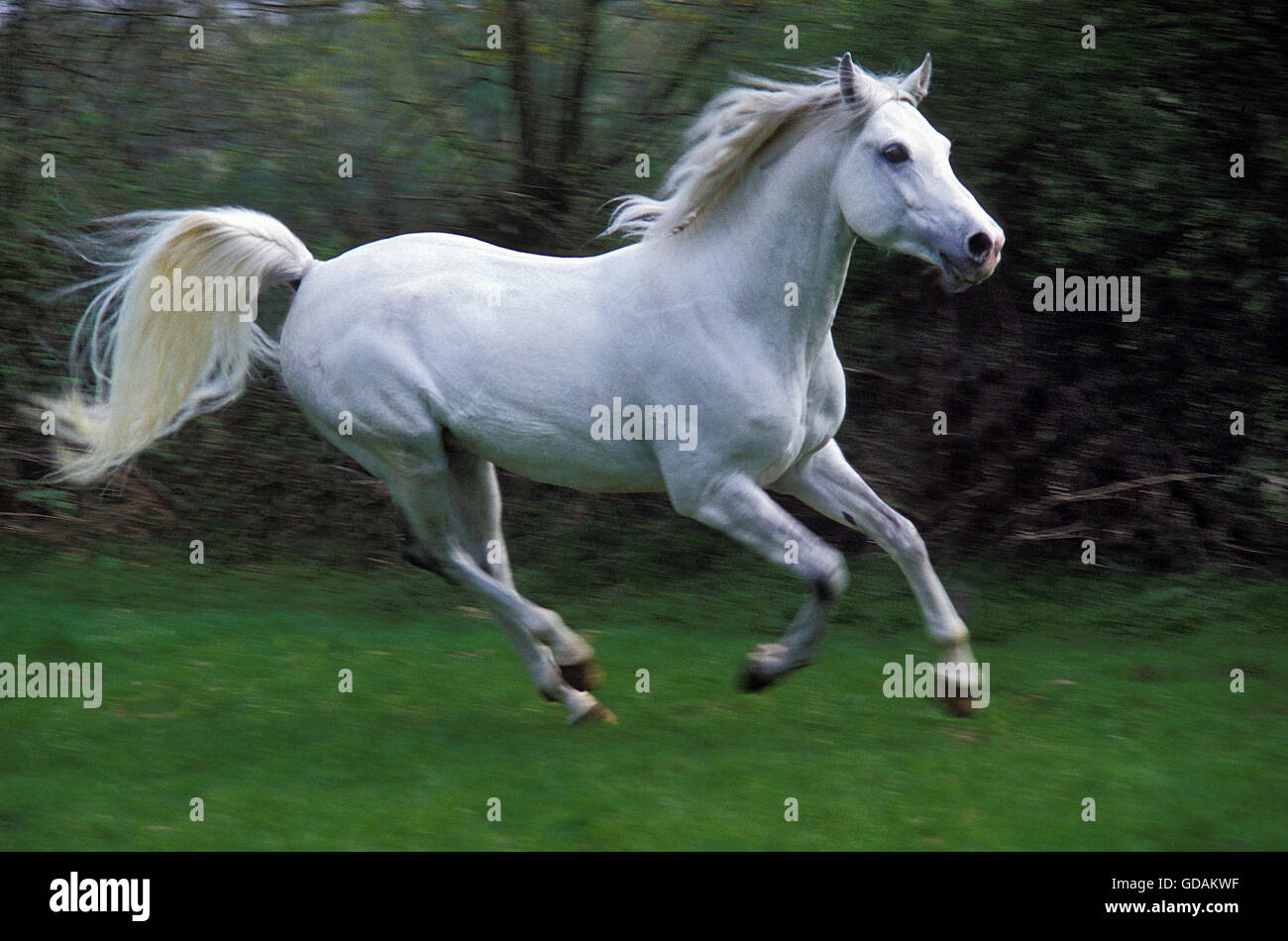 Arabian Horse Galloping Stock Photo Alamy