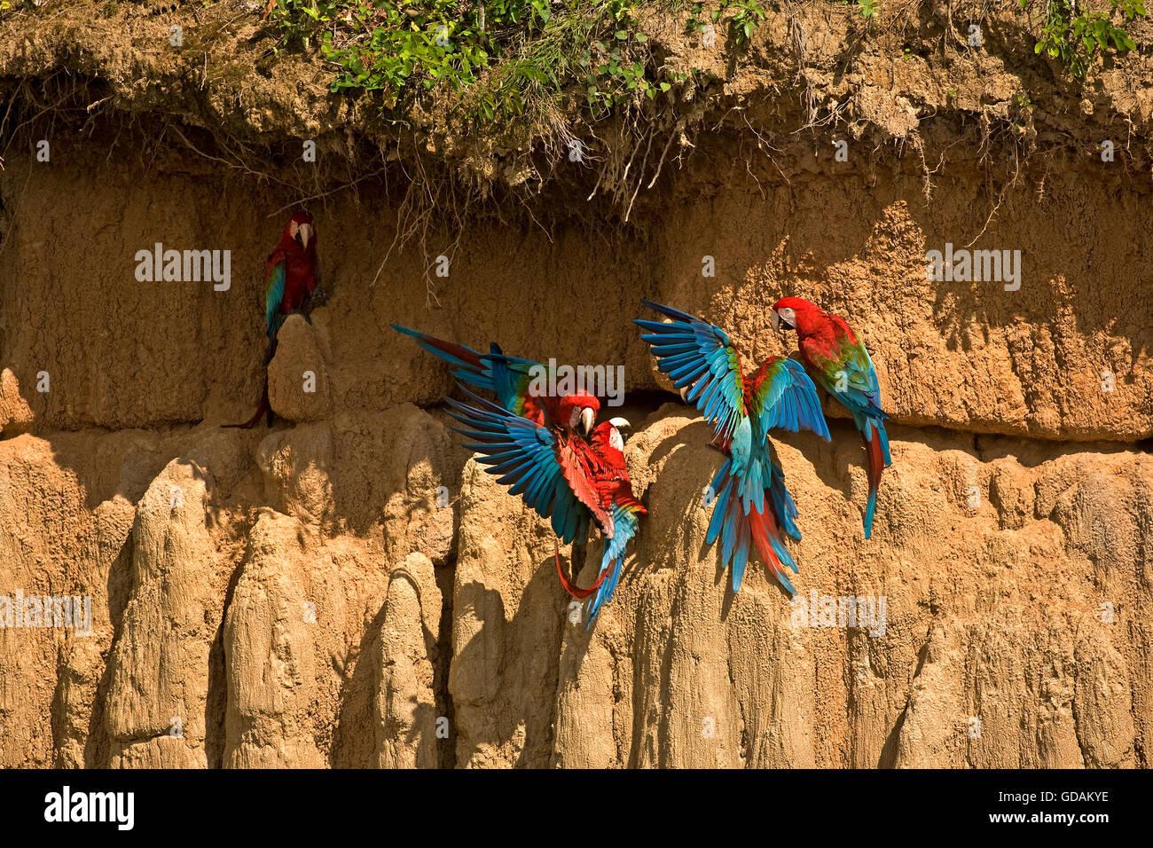 RED-AND-GREEN MACAW ara chloroptera, GROUP EATING CLAY, CLIFF AT MANU NATIONAL PARK, PEROU - Stock Image