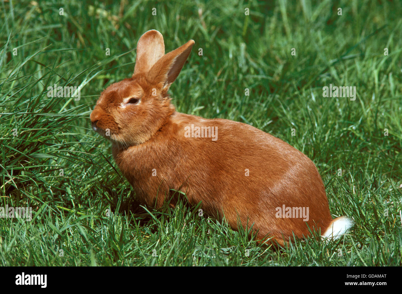 Domestic Rabbit, Fauve de Bourgogne, French Breed from Burgundy - Stock Image
