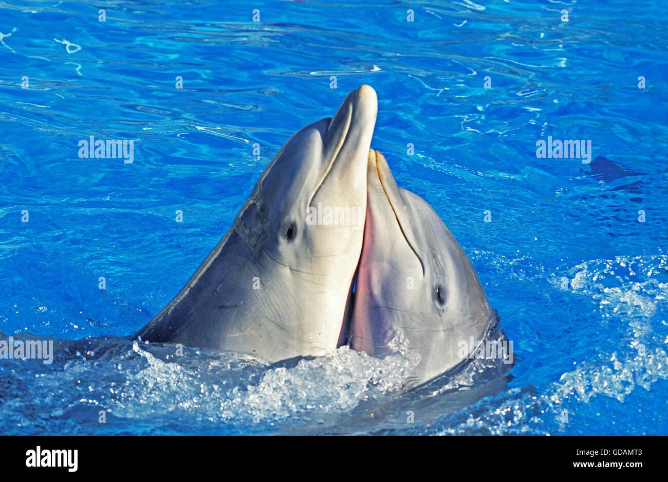 Bottlenose Dolphin, tursiops truncatus, Funny Attitude - Stock Image