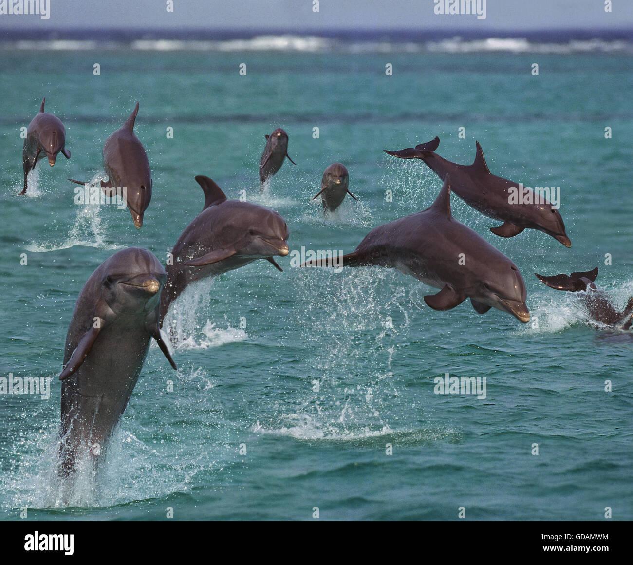 Bottlenose Dolphins, tursiops truncatus, Leaping, Honduras - Stock Image