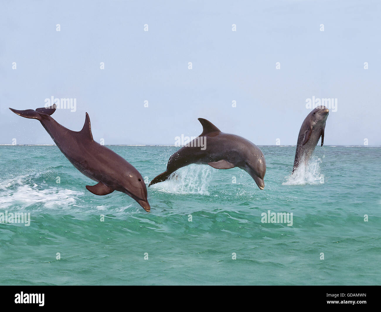 BOTTLENOSE DOLPHIN tursiops truncatus, GROUP LEAPING OUT OF THE WATER, HONDURAS Stock Photo