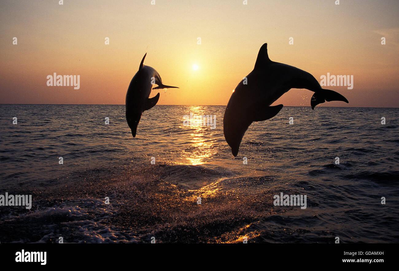 Bottlenose Dolphin, tursiops truncatus, Adults Leaping at Sunset, Honduras - Stock Image