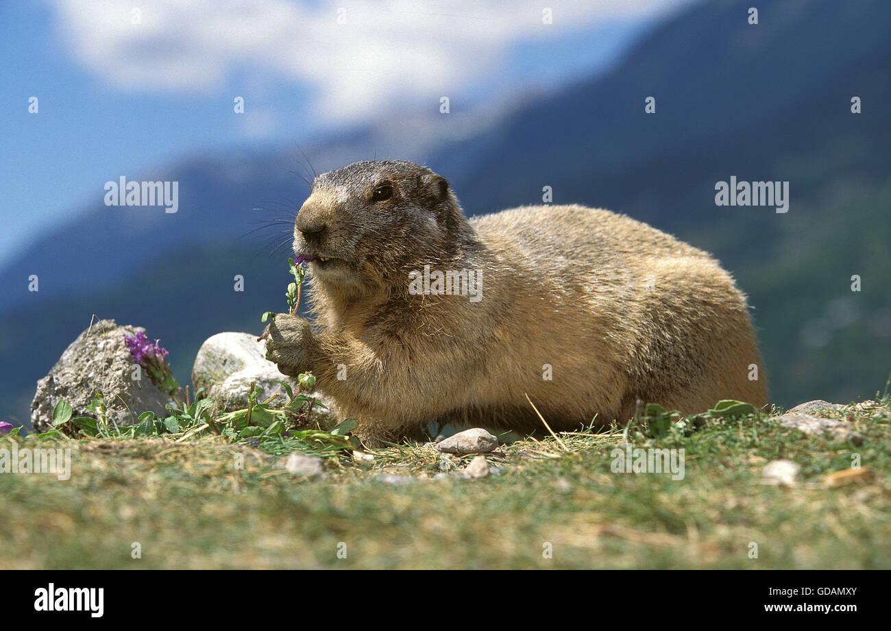 ALPINE MARMOT marmota marmota, ADULT EATING LEAVES, FRENCH ALPS