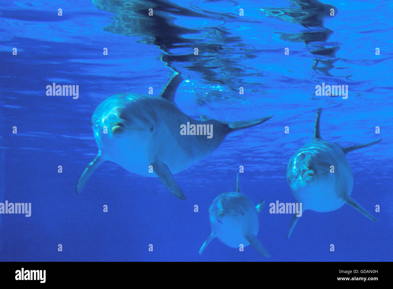 Bottlenose Dolphin, tursiops truncatus, Group, Underwater View Stock Photo