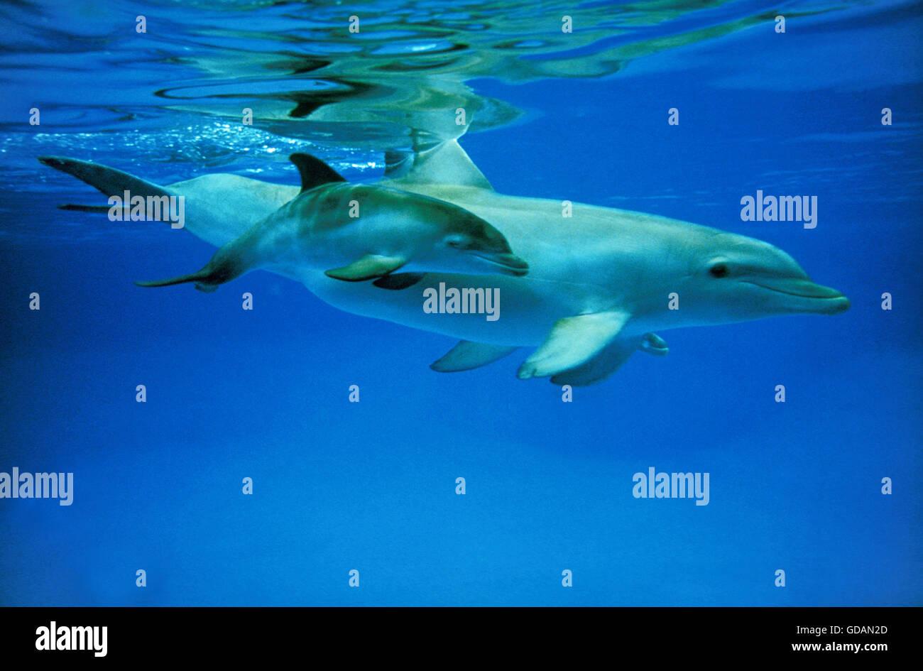 Bottlenose Dolphin, tursiops truncatus, Female with Calf Stock Photo
