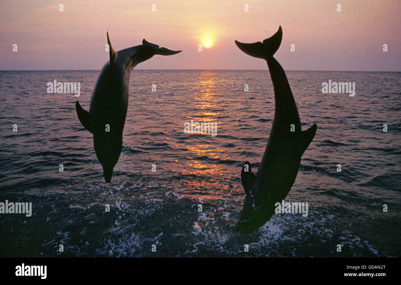 Bottlenose Dolphin, tursiops truncatus, Adults jumping at Sunset, Coast near Honduras - Stock Image