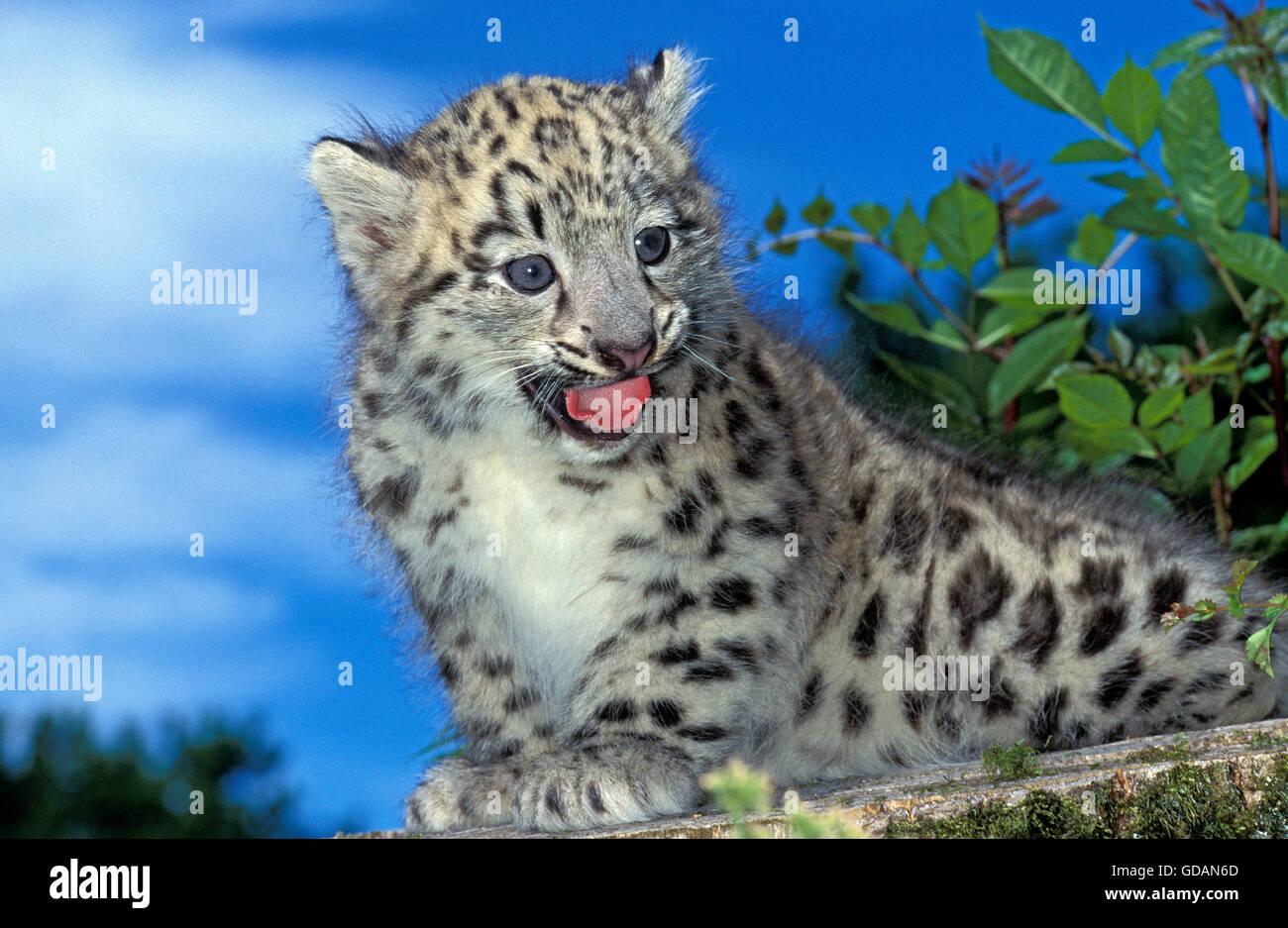 Snow Leopard or Ounce, uncia uncia, Cub calling - Stock Image