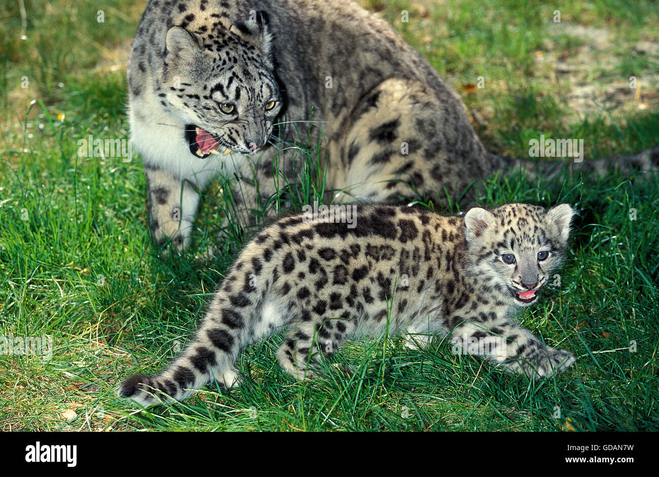 Snow Leopard or Ounce, uncia uncia, Female with Cub, Adult snarling - Stock Image