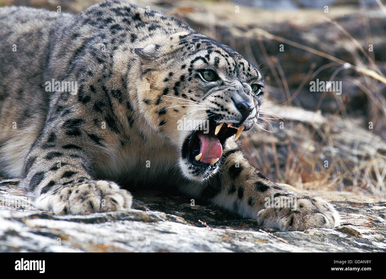 SNOW LEOPARD OR OUNCE uncia uncia, ADULT SNARLING, THREAT POSTURE - Stock Image