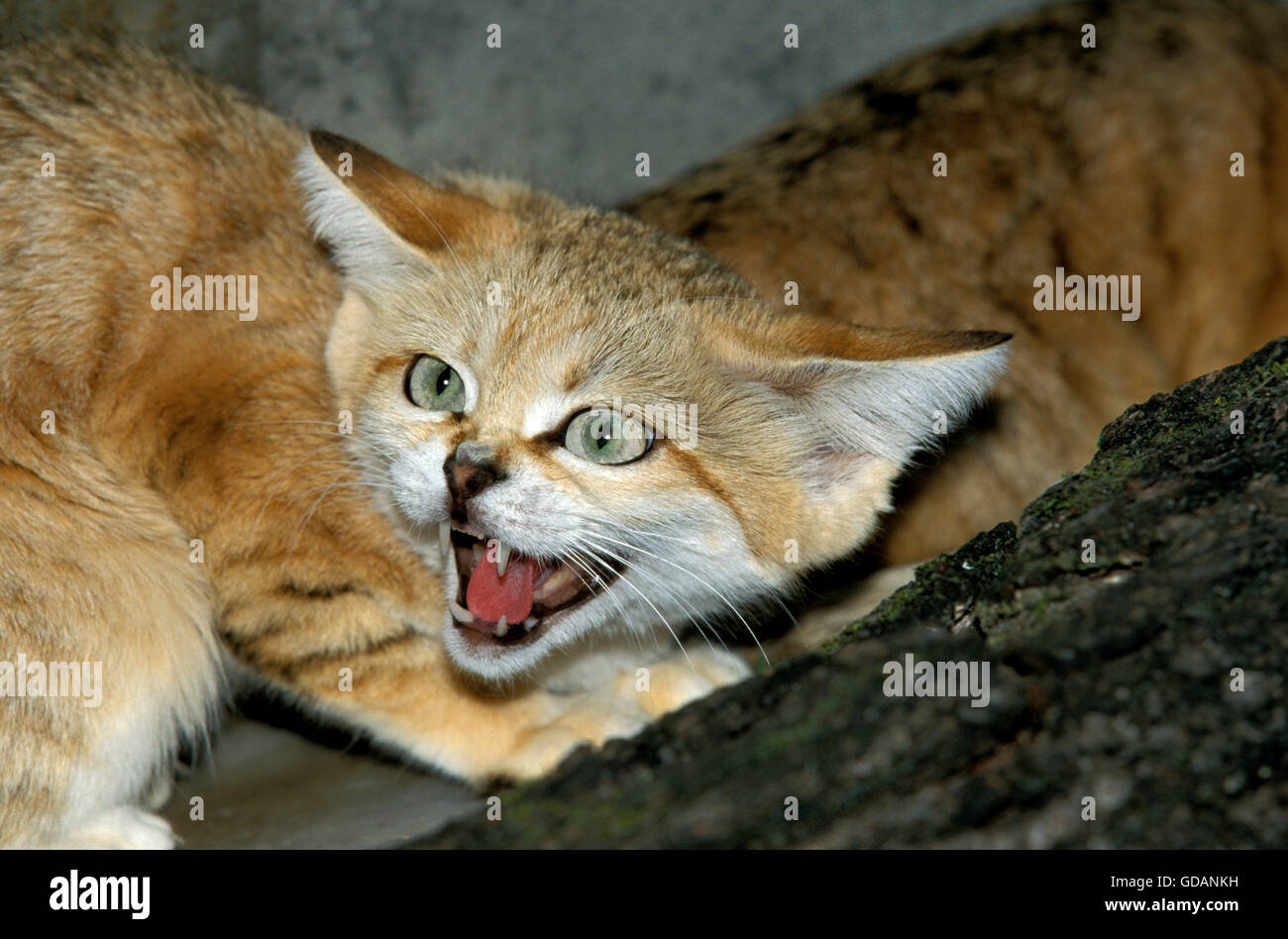SAND CAT felis margarita, ADULT SNARLING - Stock Image