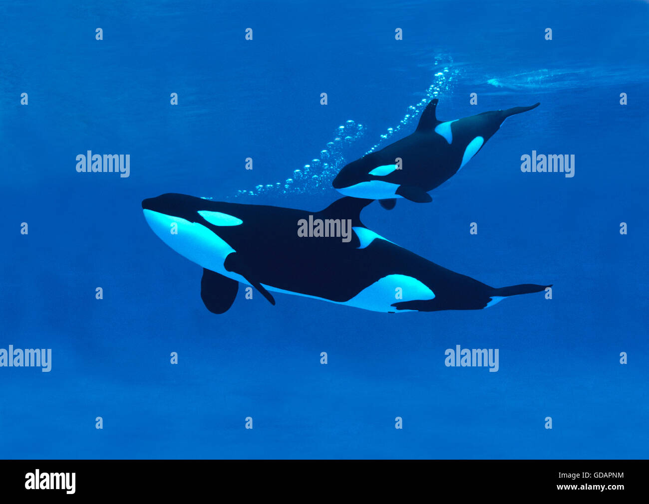 Killer Whale, orcinus orca, Mother with Calf - Stock Image