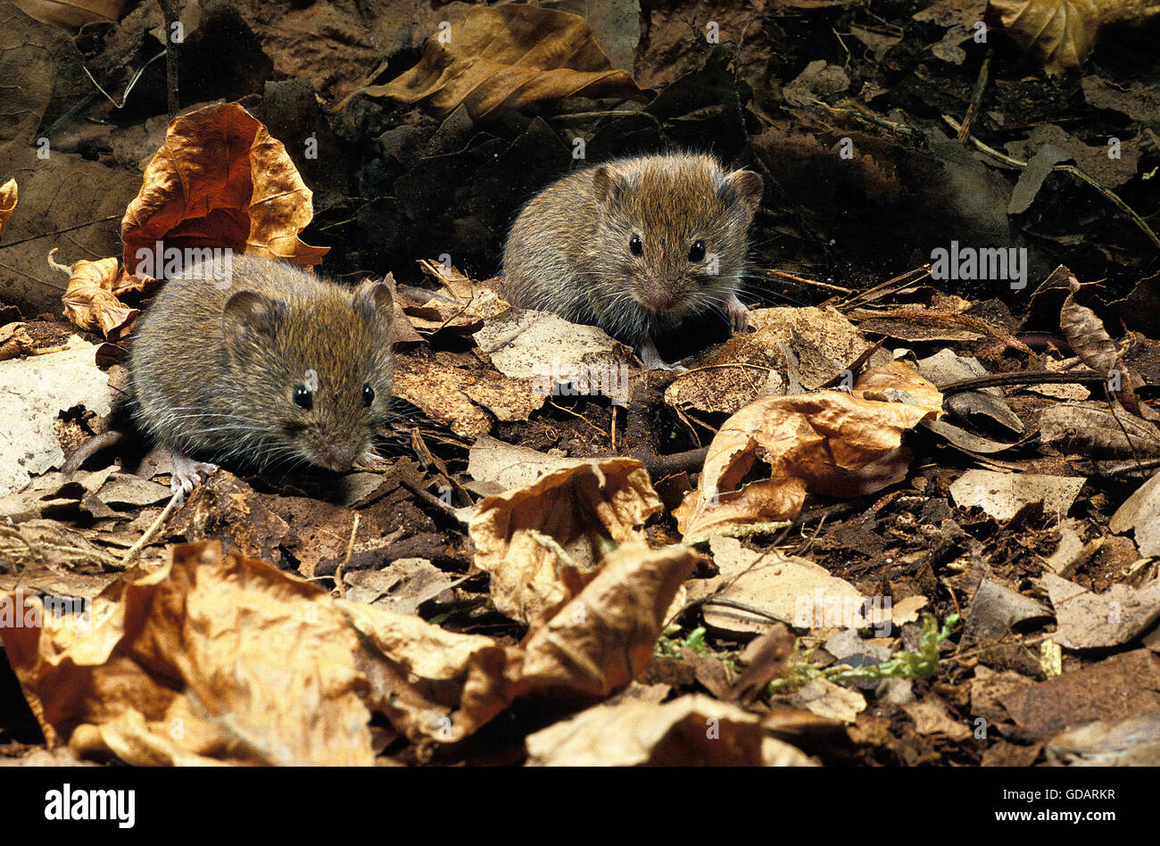 Bank Vole, clethrionomys glareolus, Adults on Fallen Leaves - Stock Image