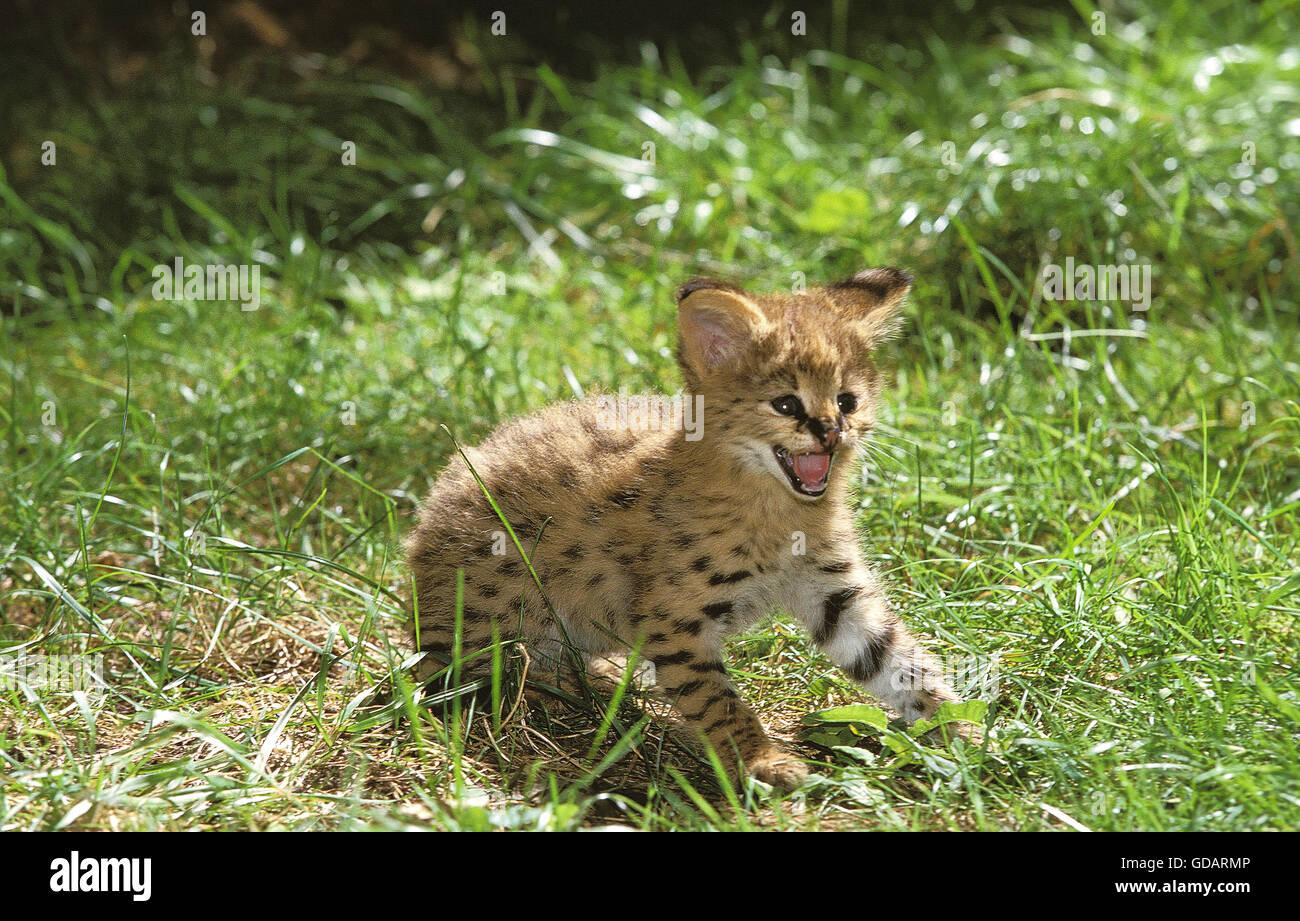 SERVAL leptailurus serval, CUB SNARLING - Stock Image