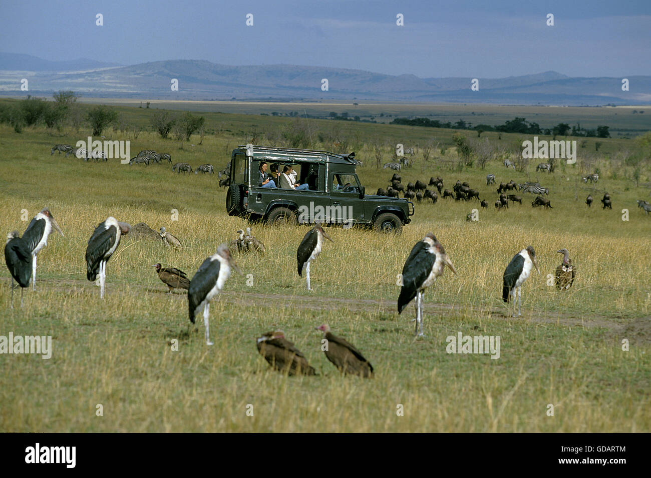 Tourist in 4 wheel drive vehicule watching Marabou Storks, Masai Mara Park in Kenya - Stock Image