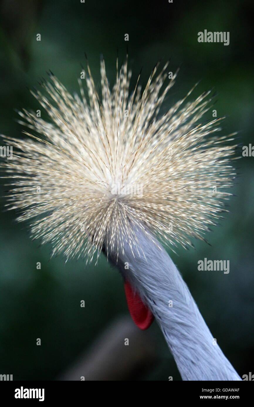 Asien, Suedostasien, Singapur, Museum, Bird Park, Grey Crowned Crane, Kranich Ein Grey Crowned Crane Voegel im Bird - Stock Image