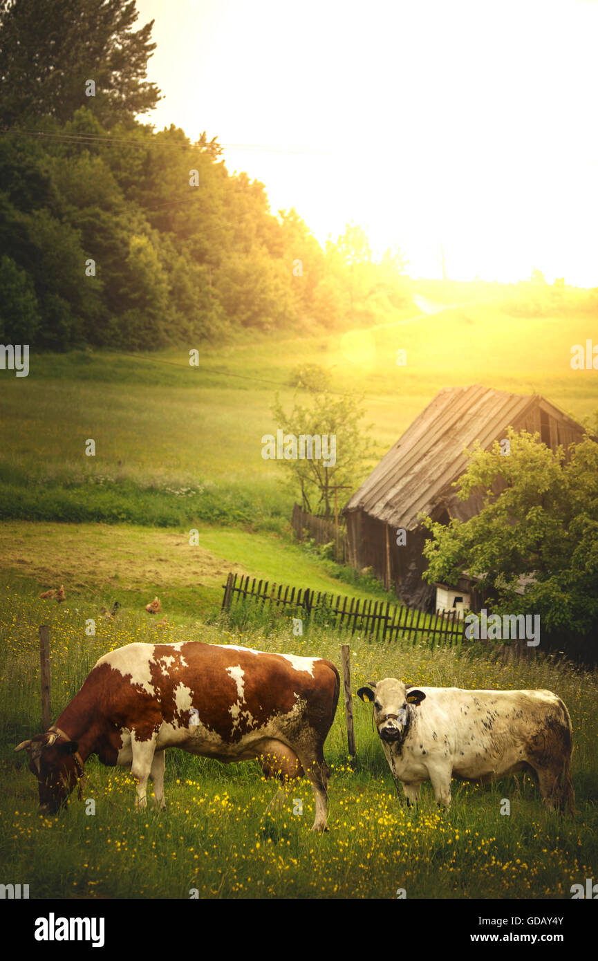 two cows standing in grass in village farm - Stock Image