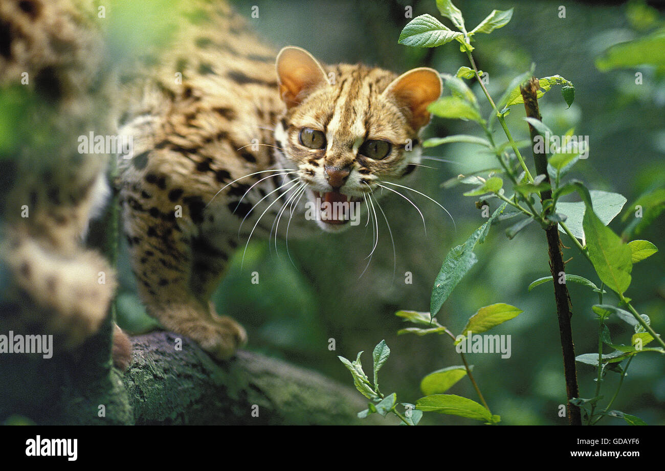 LEOPARD CAT prionailurus bengalensis, ADULT SNARLING - Stock Image