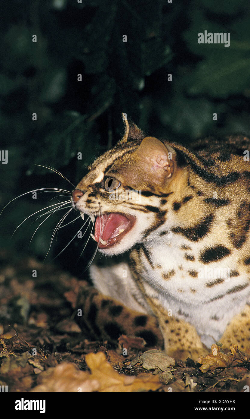 LEOPARD CAT prionailurus bengalensis, ADULT SNARLING, THREAT POSTURE - Stock Image