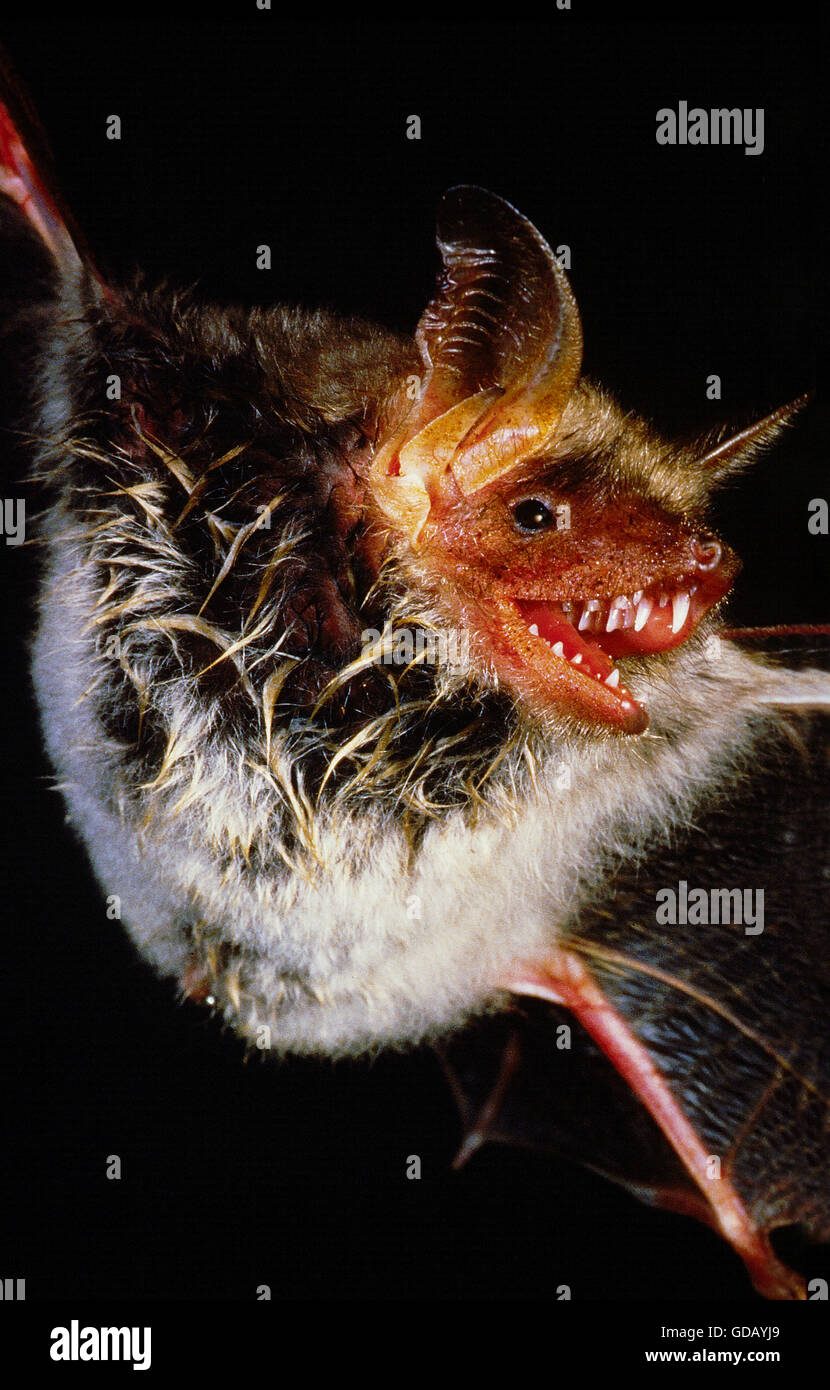 MOUSE-EARED BAT myotis myotis, ADULT IN FLIGHT, CLOSE-UP OF THE BODY - Stock Image