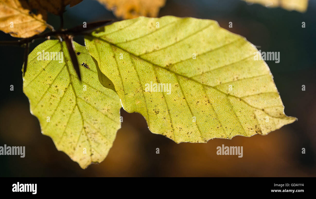 Tree,Leaf,beech,beech sheet,Fagus sylvatica,flora,foliage,foliage,nature,wood,forest, - Stock Image