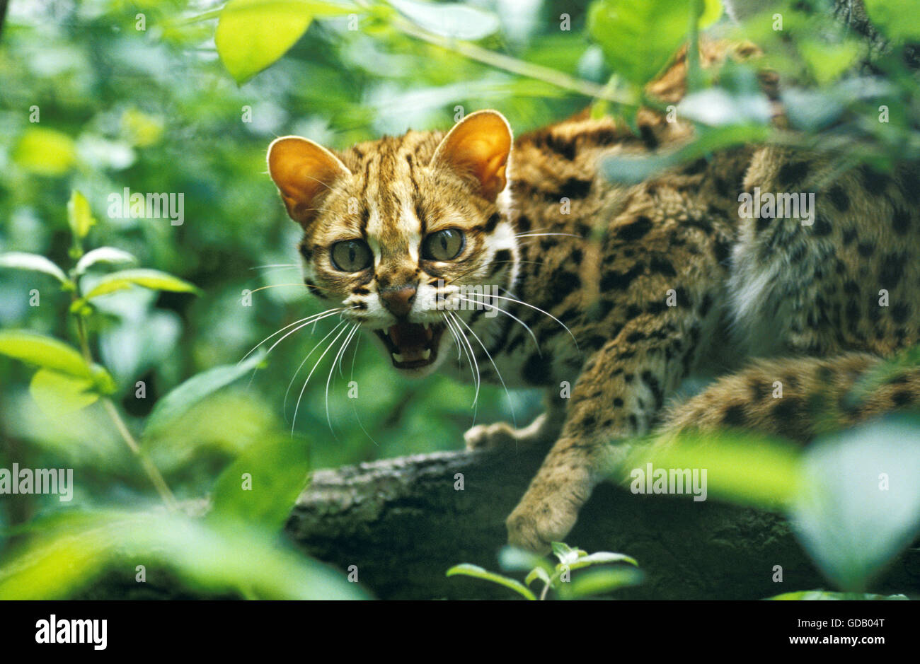 Leopard Cat, prionailurus bengalensis, Adult snarling - Stock Image