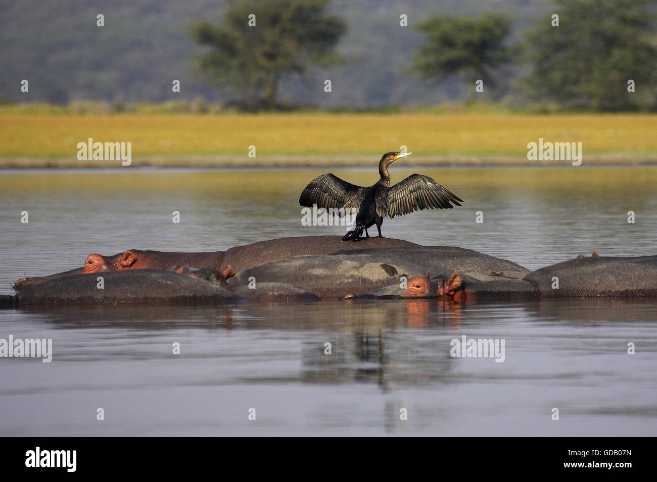 Reed Cormorant or Long-Tailed Cormorant, phalacrocorax africanus, Adult Drying Wings on the Back of Hippopotamus, - Stock Image
