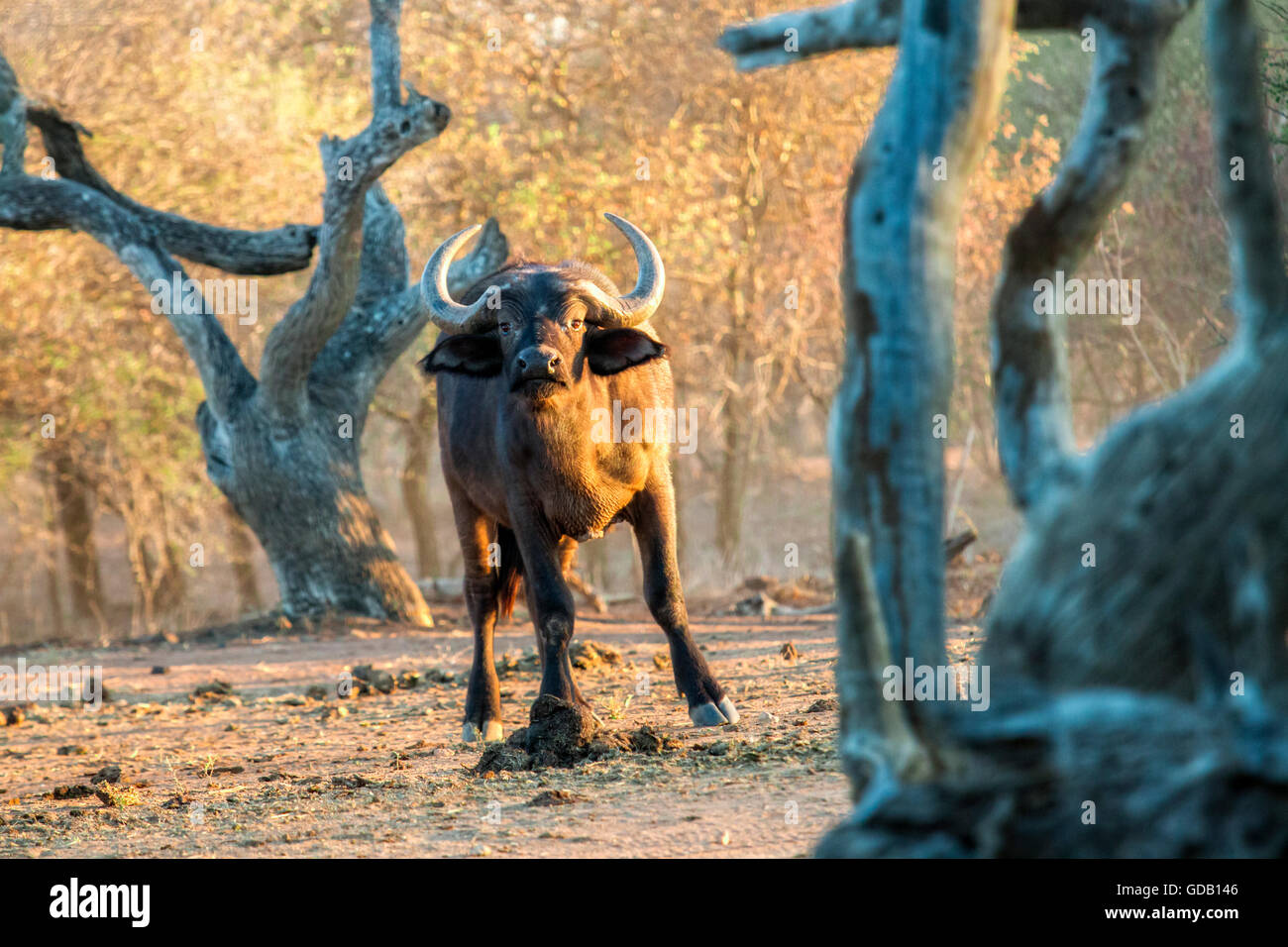 South africa game drive in the early morning. Curious buffalo between gnarled trees watches the viewer. - Stock Image