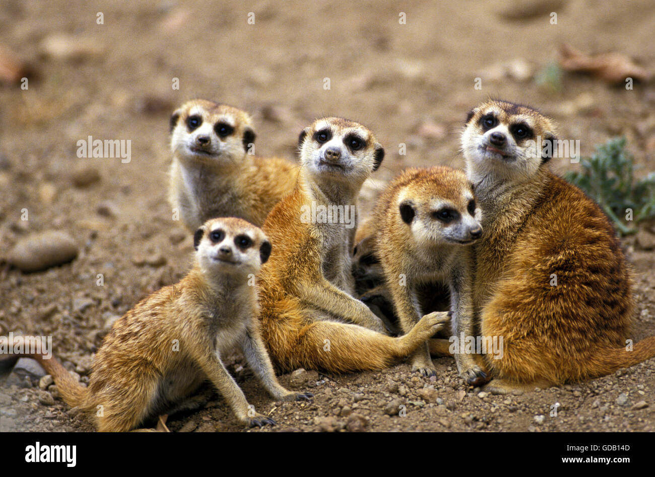 Meerkat, suricata suricatta, Group on Ground - Stock Image