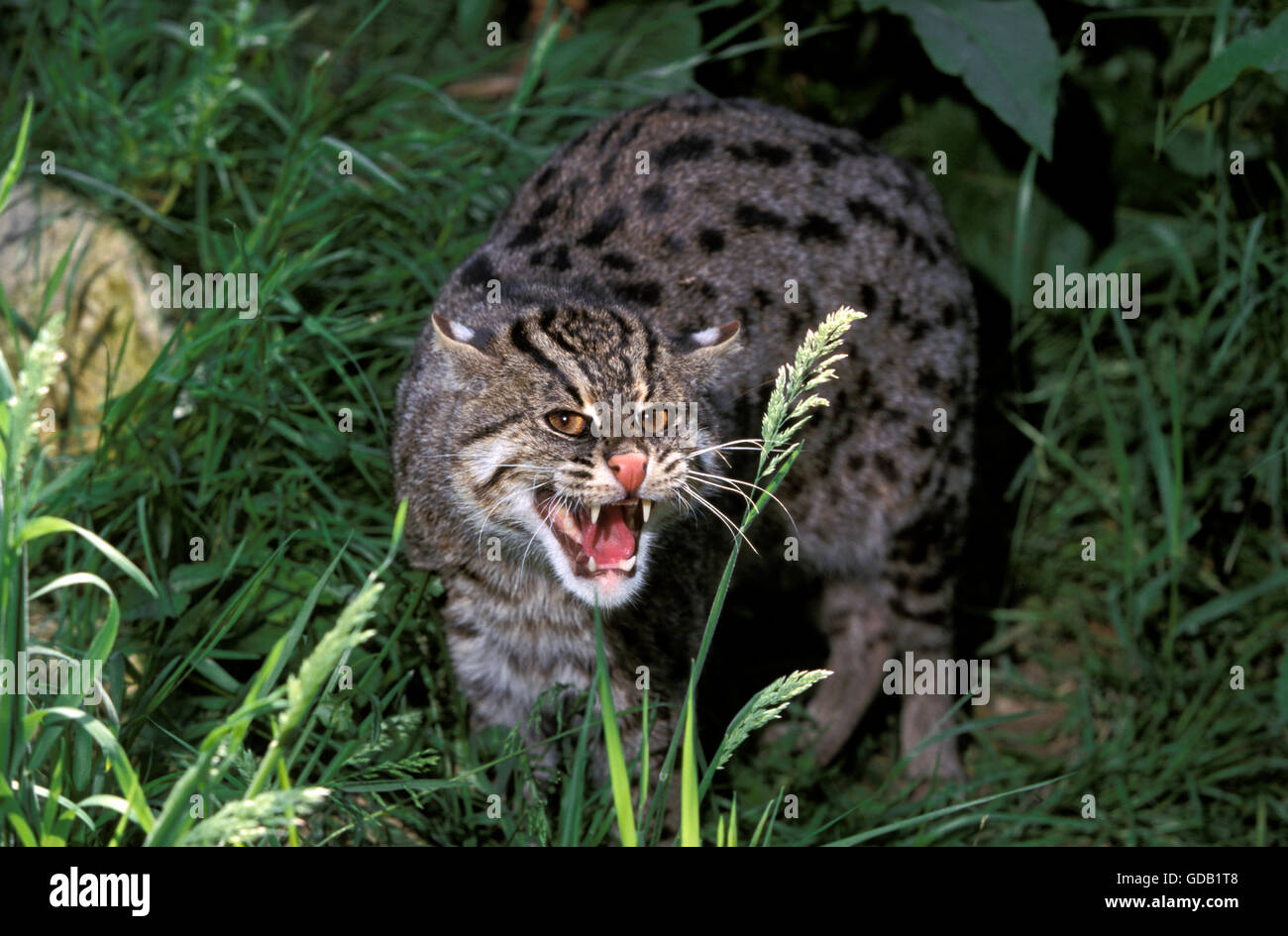 Fishing Cat, prionailurus viverrinus, Adult Snarling - Stock Image