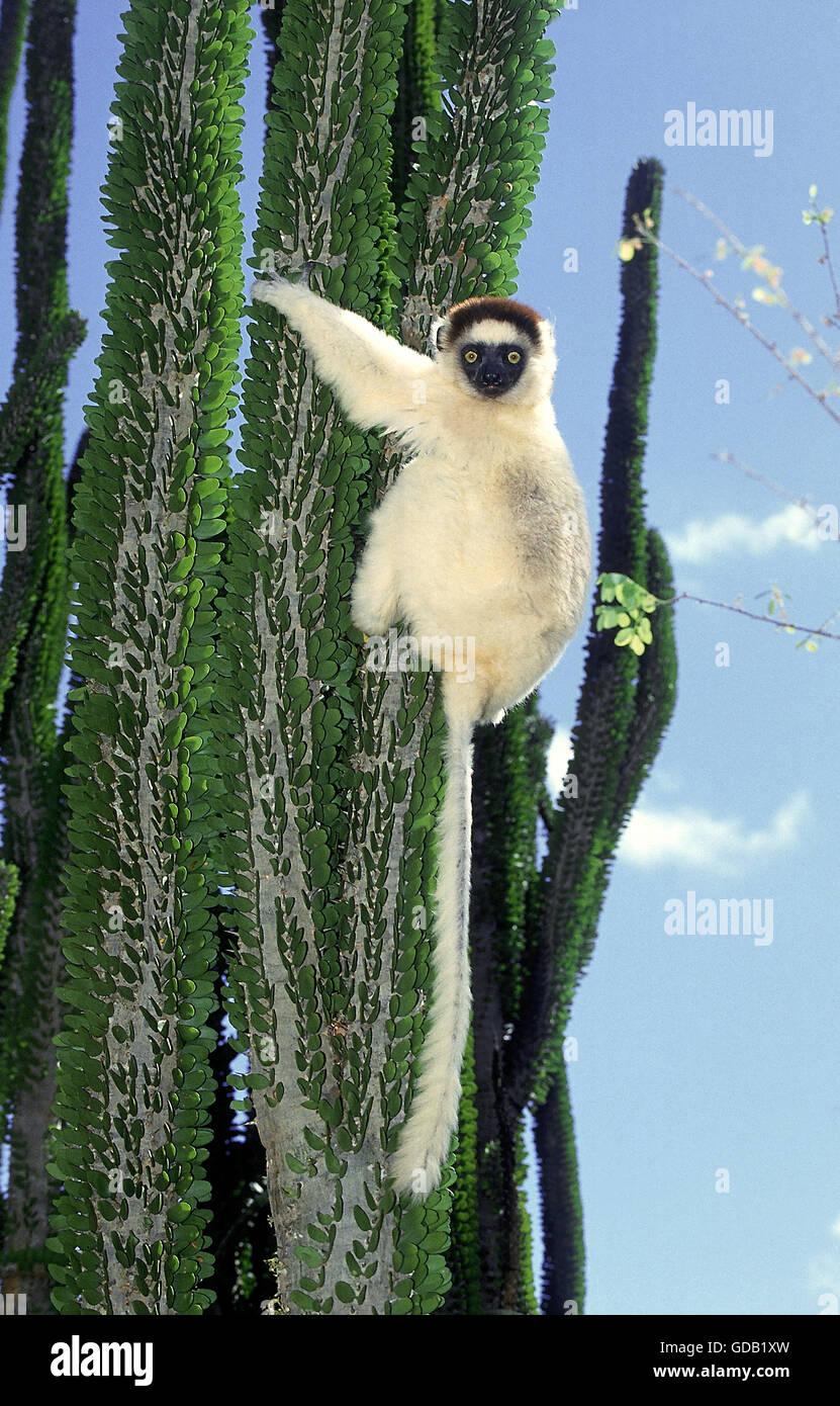 VERREAUX'S SIFAKA propithecus verreauxi, ADULT ON MADAGASCAR OCOTILLO alluaudia procera, BERENTY RESERVE IN - Stock Image