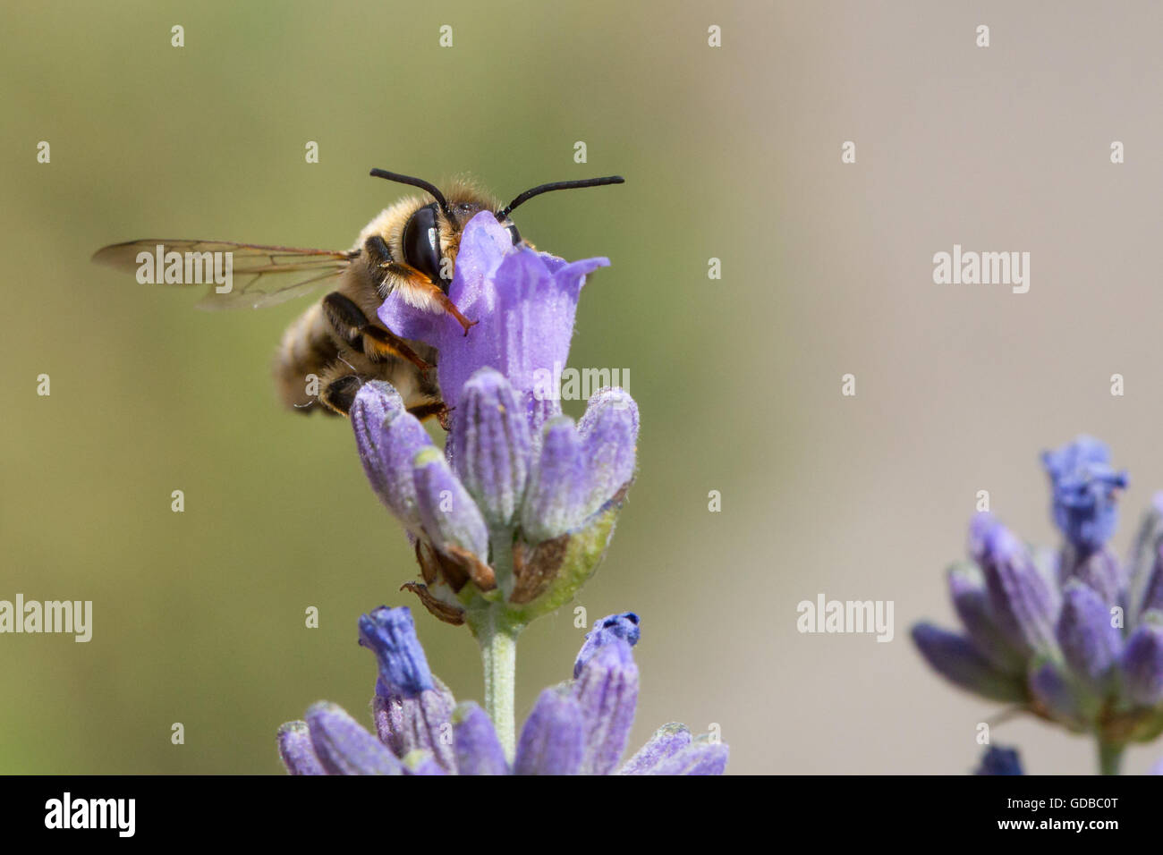 Closeup of a bee pollinating lavender flowers. Stock Photo