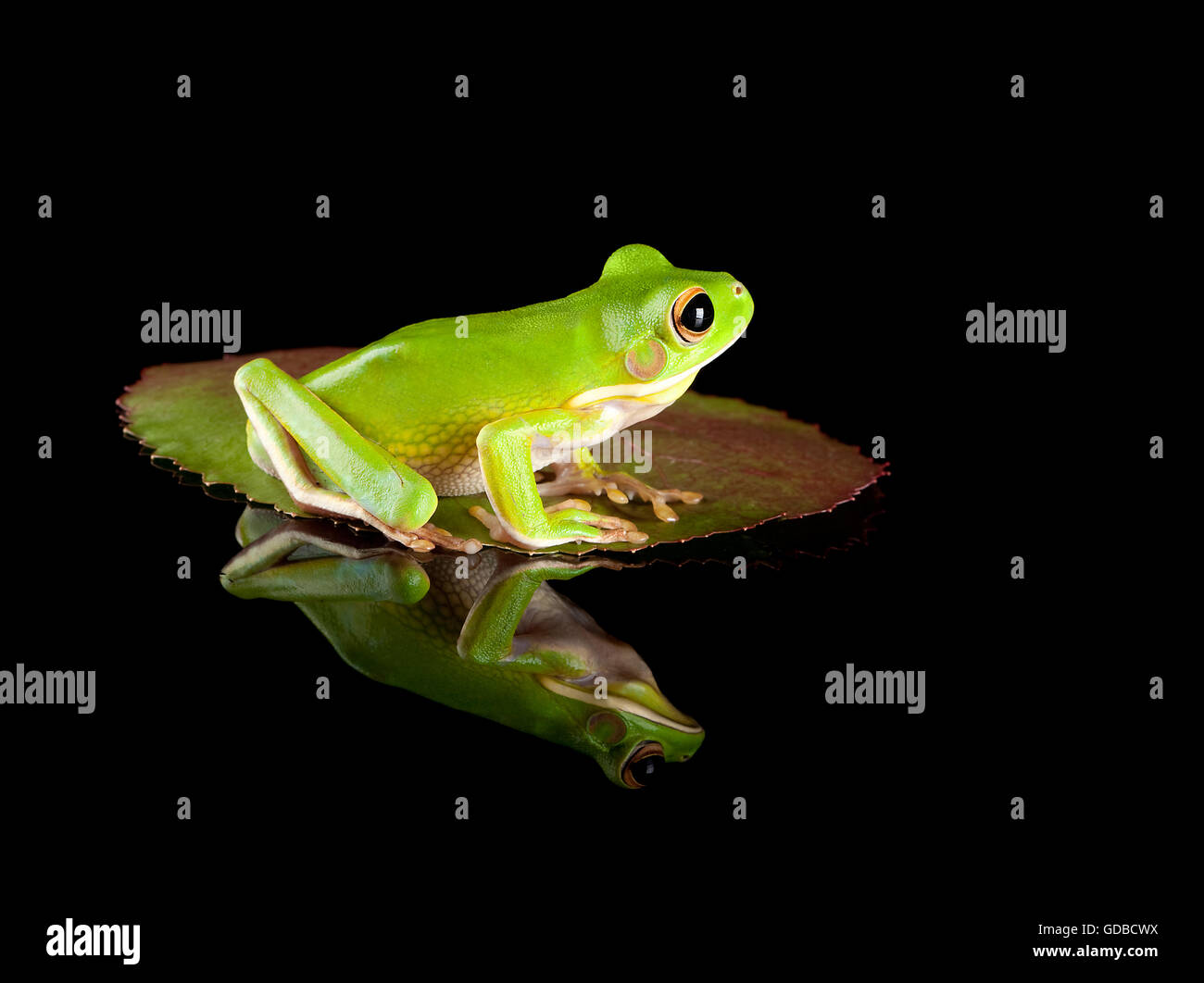 White-lipped tree frog or Litoria Infrafrenata sitting on a leaf - Stock Image