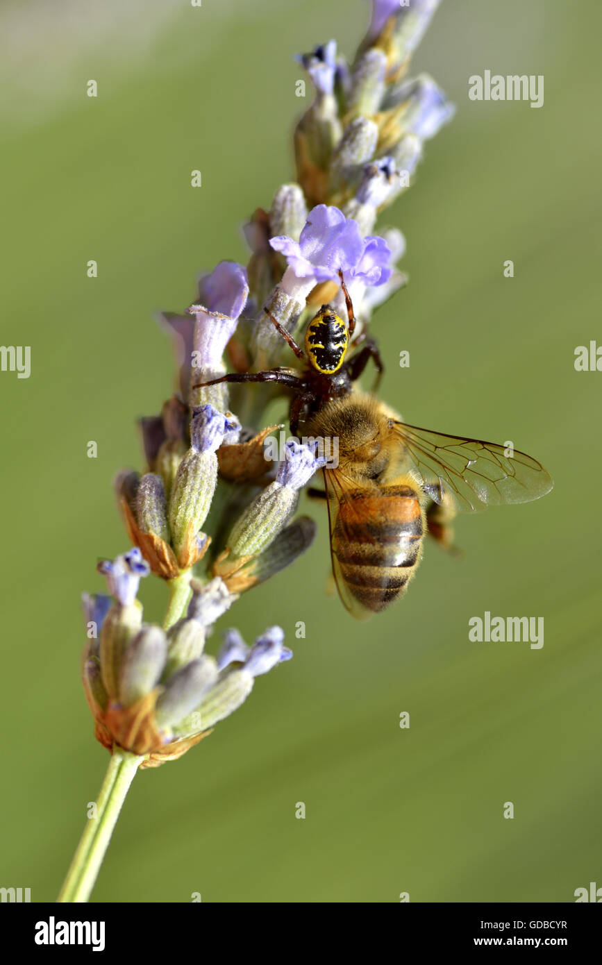 Crab spider (Synema globosum) eating fly on lavander flower - Stock Image