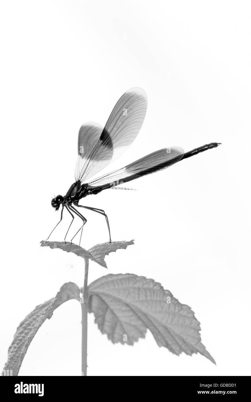 Dragonfly resting on a leaf Stock Photo