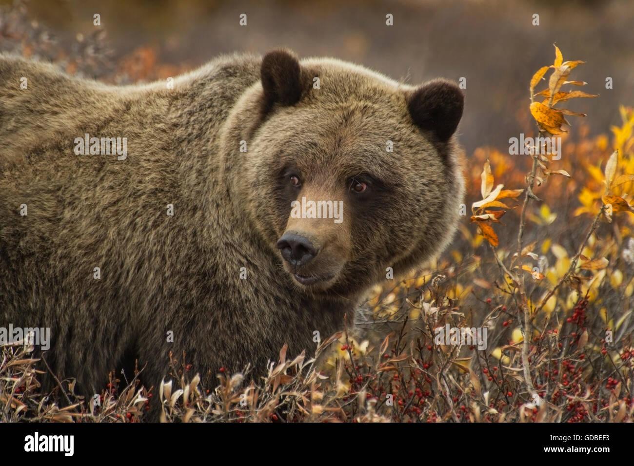 Grizzly bear Ursus arctos) sow Denali Nat'l Park, Alaska - Stock Image