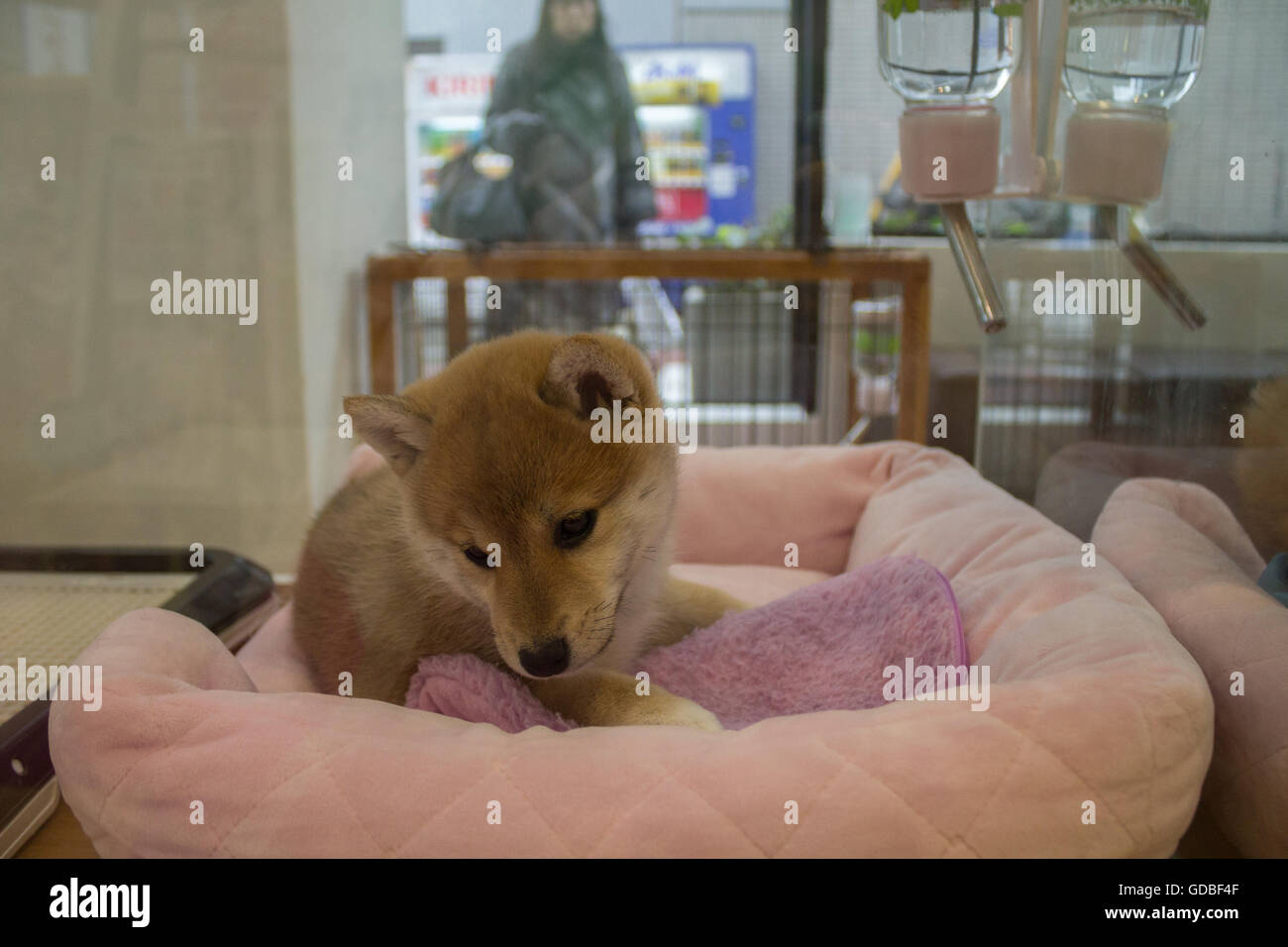 Shiba inu puppy in a pet store in Tokyo Japan Stock Photo  111506095 ... ed43280c245f