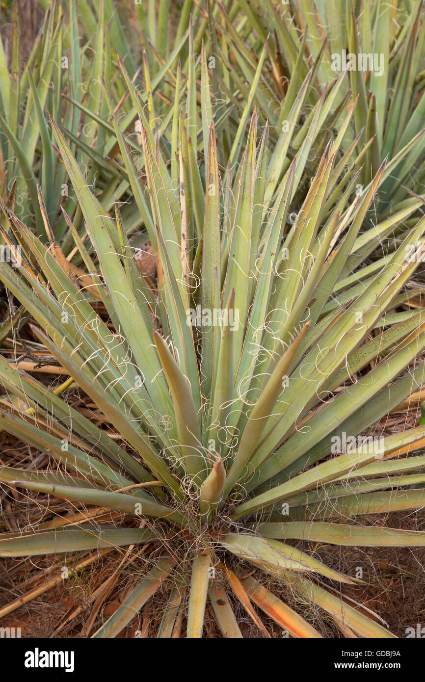 Yucca, Red Rock Scenic Byway, Coconino National Forest, Arizona - Stock Image