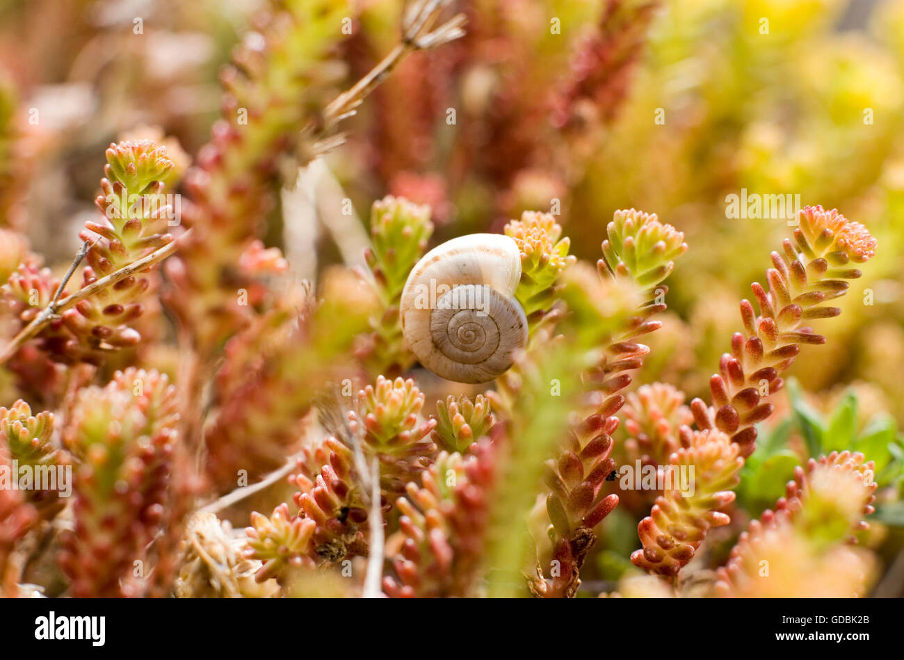 A snail rests in a purslane field. - Stock Image