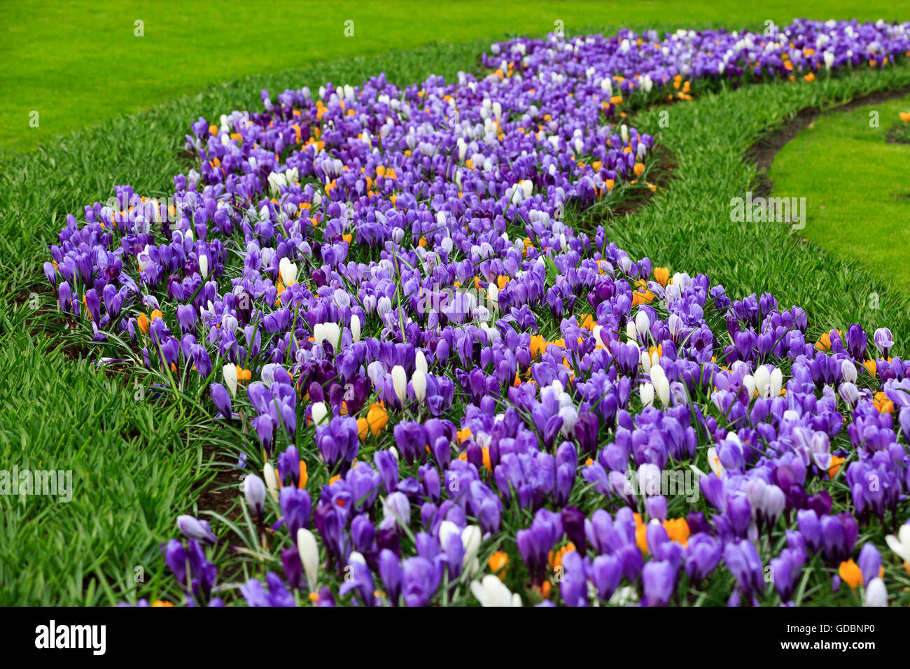 Holland, Niederlande, Lisse, Keukenhof, Bluehende Krokusse - Stock Image