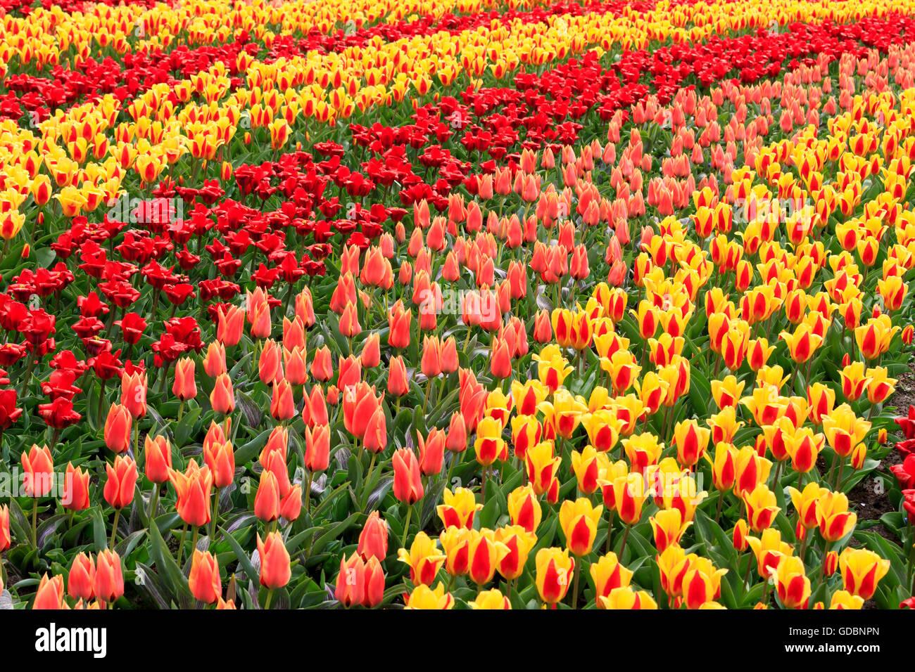 Holland, Niederlande, Lisse, Keukenhof, Bluehende Tulpen - Stock Image
