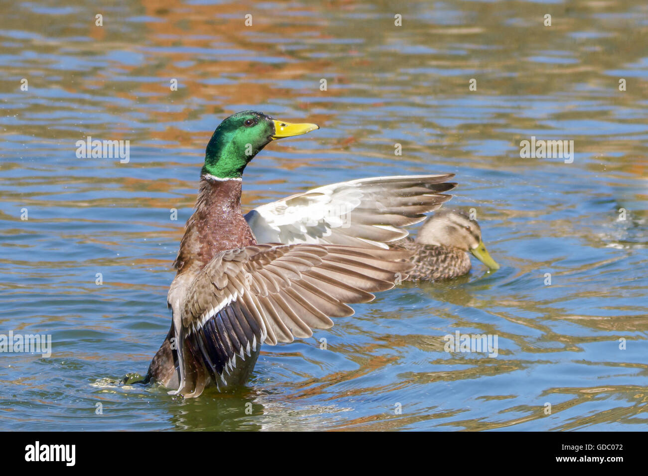 Mallard Flapping to Dry His Wings - Stock Image