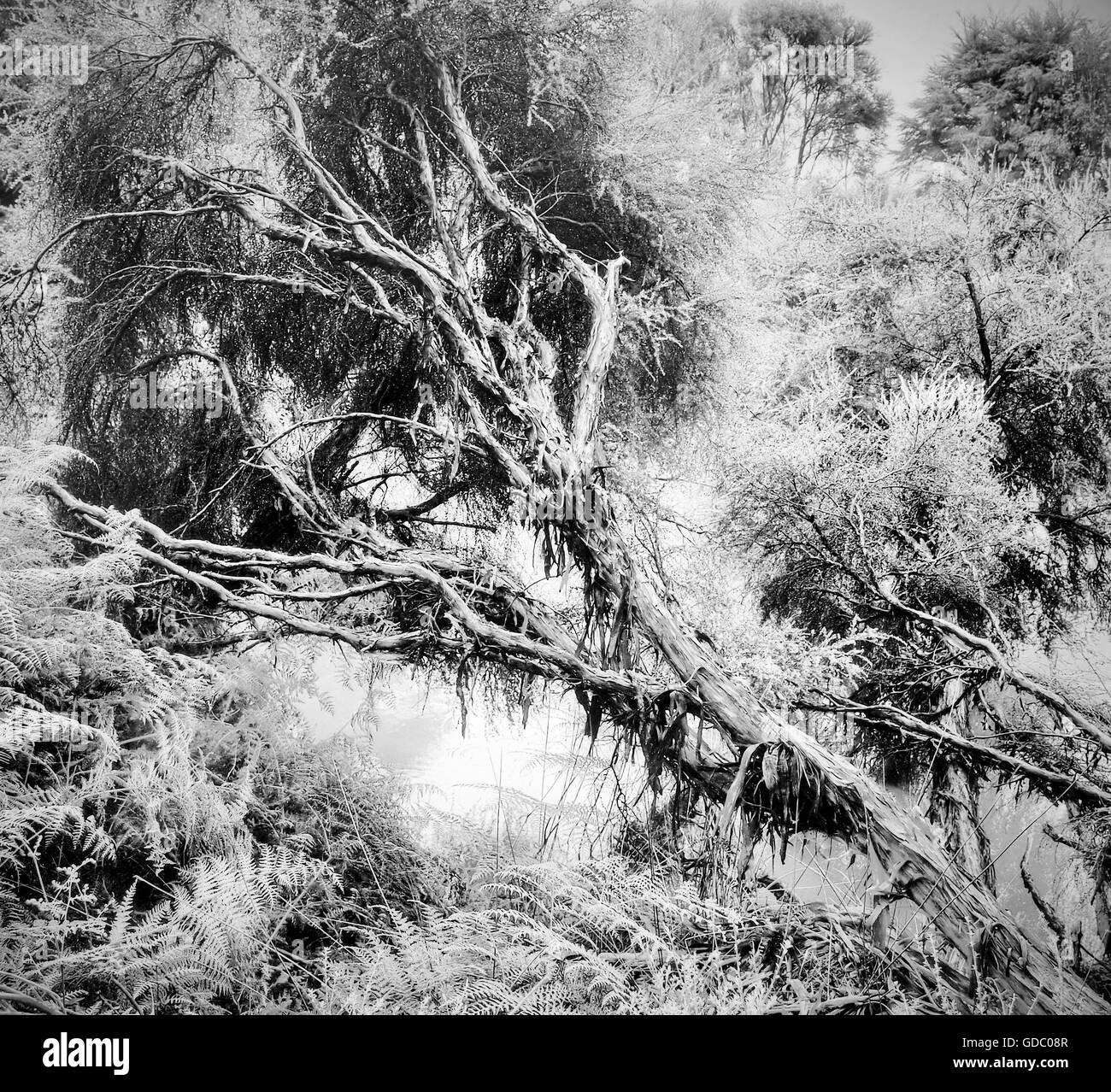 Rotorua,New Zealand,north island,tree,dead tree,jungle,rain forest,nature,primeval forest,black and white,Mystical,mo - Stock Image