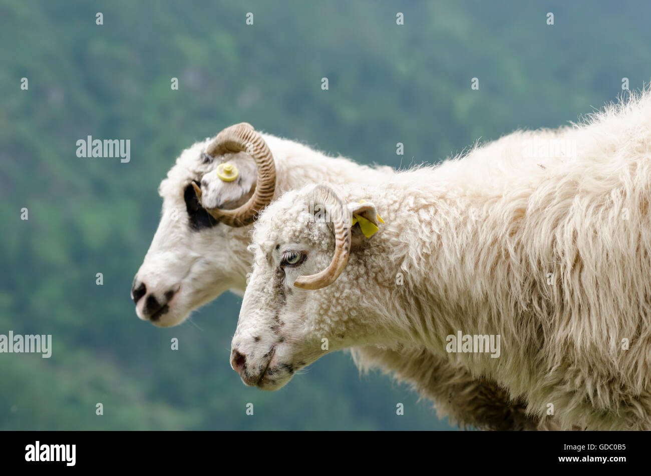 2 white sheep near a steep with green trees background at mountain - Stock Image