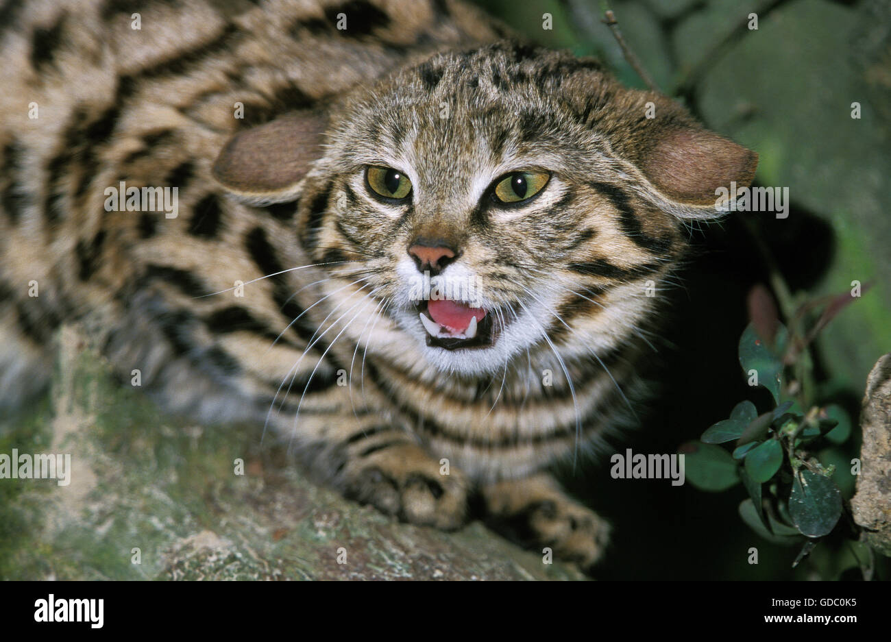 Black Footed Cat, felis nigripes, Adult snarling, Defensive Posture - Stock Image