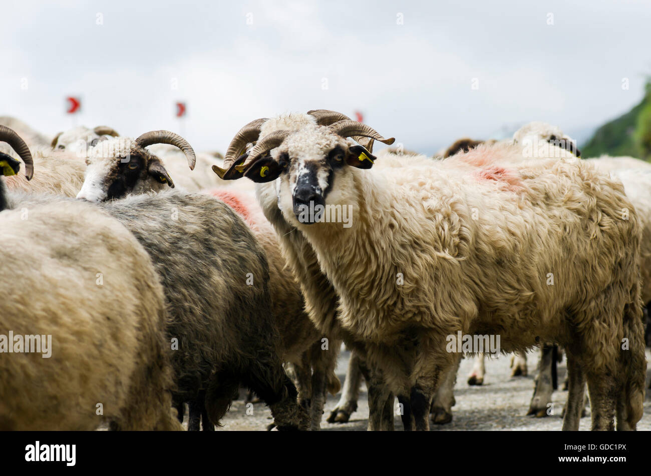 Flock of sheep white and grey crossing the street - Stock Image
