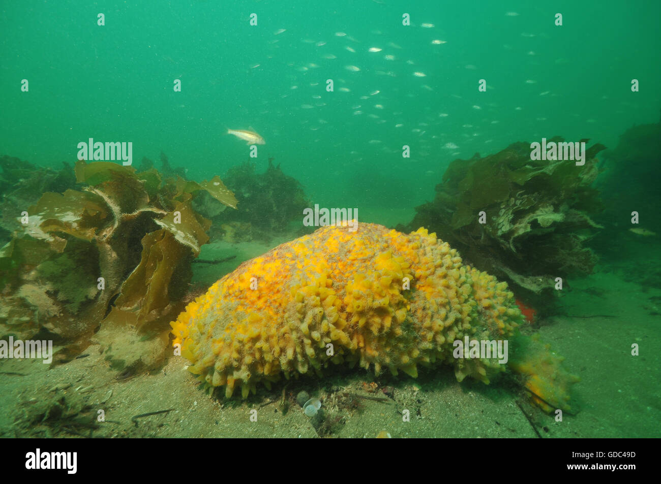 Large yellow sponge on flat bottom - Stock Image